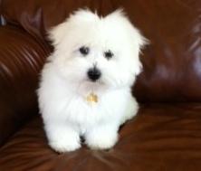 Pixel, chien Coton de Tuléar