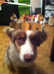 Pixel, chien Berger australien