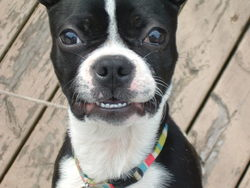 Pixèle, chien Terrier de Boston