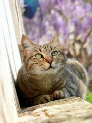 Pixelle, chat Européen