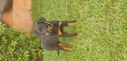 Pixelle, chiot Rottweiler