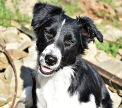 Pixelle, chien Border Collie
