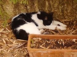 Pixie, chat Gouttière