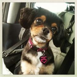 Pixie, chien