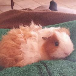 Pixie, rongeur Cochon d'Inde