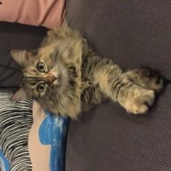 Pixie, chat Européen