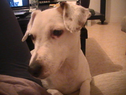 Pixie, chien Jack Russell Terrier