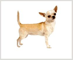 Pixy, chien Chihuahua