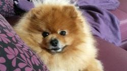 Platoon , chien Spitz allemand