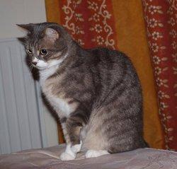 Ploum, chat Européen