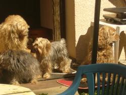 Ploumette Belle Et Sael, chien