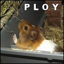 Ploy, rongeur Cochon d'Inde