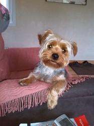 Plum, chien Yorkshire Terrier