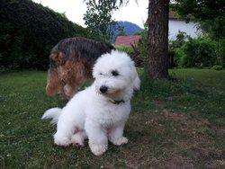 Plume, chien Coton de Tuléar
