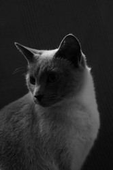 Plume, chat Siamois