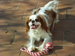 Plume, chien Cavalier King Charles Spaniel