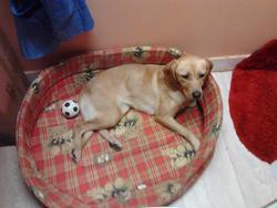 Plume, chien Labrador Retriever