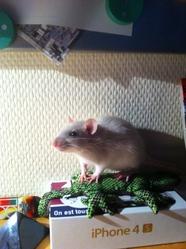 Plume, rongeur Rat