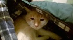 Plume , chat Gouttière