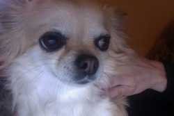 Plume, chien Chihuahua
