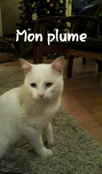 Plume, chat Angora turc