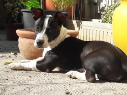 Plume, chiot Jack Russell Terrier