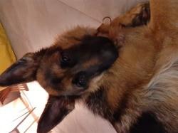Plume, chien Berger allemand