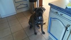 Plume, chien Cane Corso