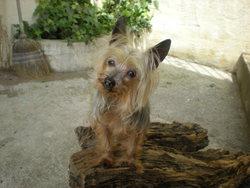 Plume, chien Yorkshire Terrier