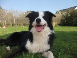 Plume, chien Border Collie