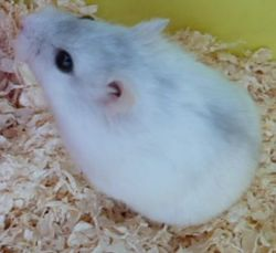 Plume, rongeur Hamster