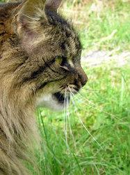 Plumeau, chat Européen