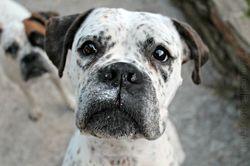 Plumetie, chien Boxer