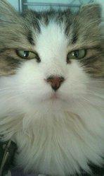Plumette, chat Européen