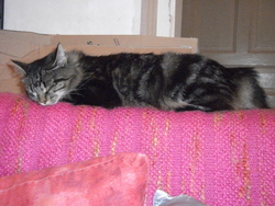 Plumm, chat Maine Coon
