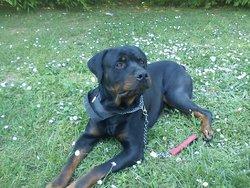 Pluto, chien Rottweiler