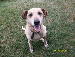 Pluto, chien Labrador Retriever