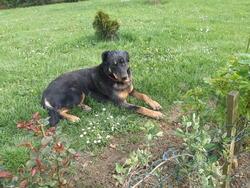 Pluto, chien Beauceron