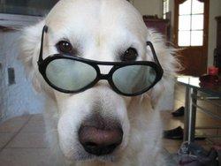 Pluto, chien Golden Retriever