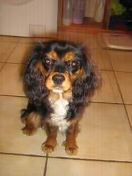 Poca, chien Cavalier King Charles Spaniel