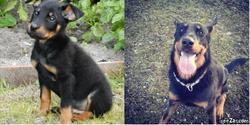 Pocho, chien Beauceron