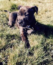 Pogba, chien Staffordshire Bull Terrier