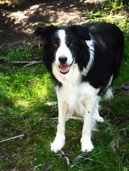 Pogo, chien Border Collie