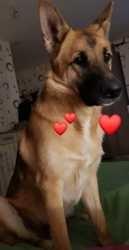 Pogo, chien Berger allemand