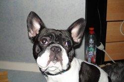 Pogo, chien Bouledogue français