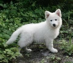 Poilou, chien Berger blanc suisse
