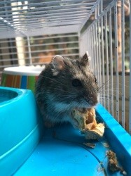 Pok, rongeur Hamster