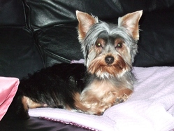 Poker, chien Yorkshire Terrier