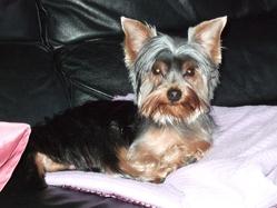 Poker, chien Yorkshire Terrier