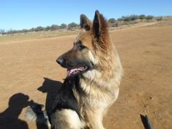 Pola, chien Berger allemand